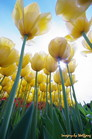 tulips skyward